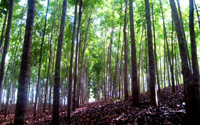 Sustainable forest plantations with Marsse