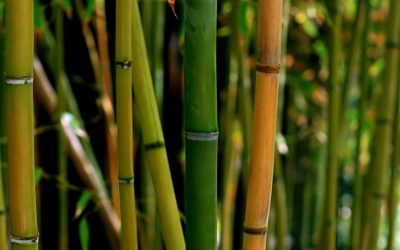 New Technology Allows Wood Out of Good Old Bamboo