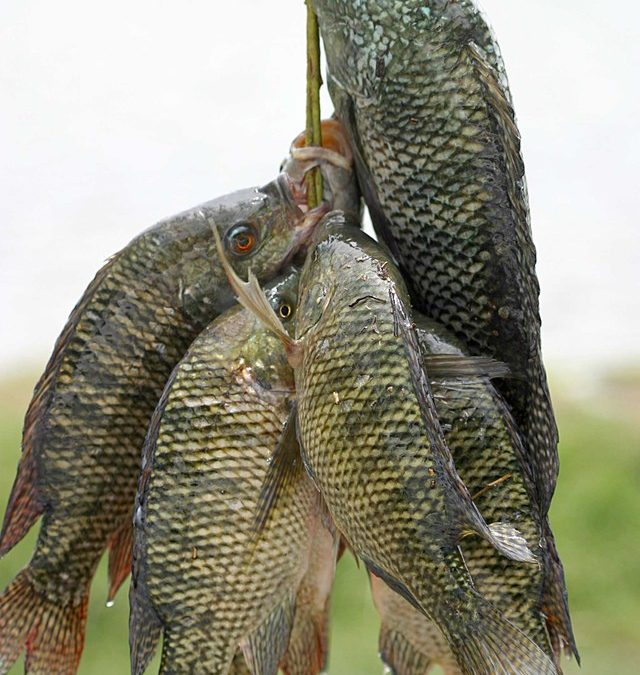Pine Tree Pollen, Natural Hormones for All-male Tilapia Culture
