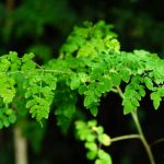 Living tree of Malunggay or Moringa as a herb that has good healing capability