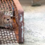 rat-is-trapped-trap-cage-trap_41689-547-1